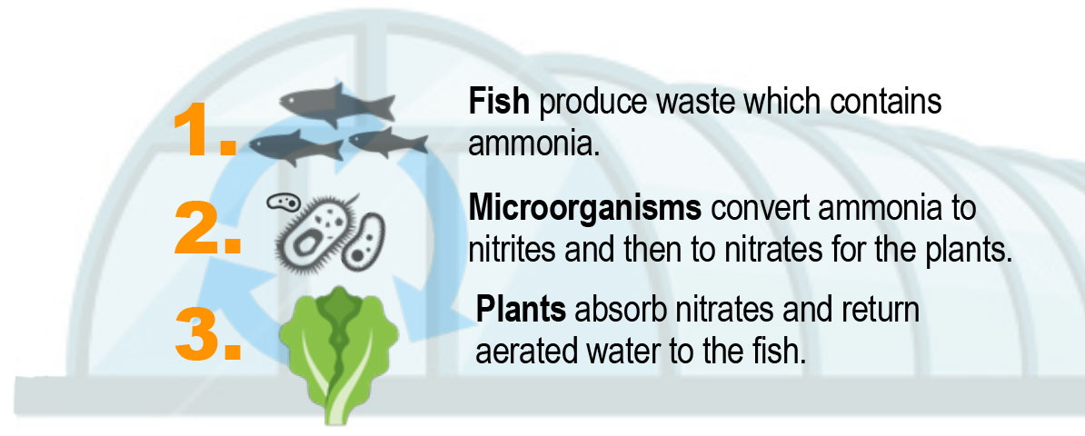 Fish produce waste which contains ammonia. Microorganisms convert ammonia to nitrates and then to nitrates for the plants. Plants absorb nitrates and return aerated water to the fish.